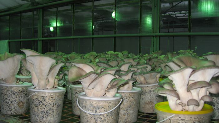 выращивание белого гриба в подвале видео